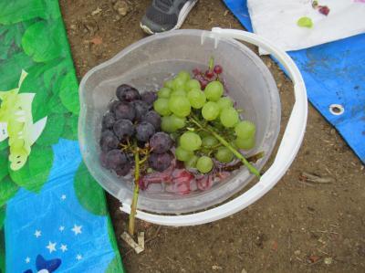 色々な葡萄